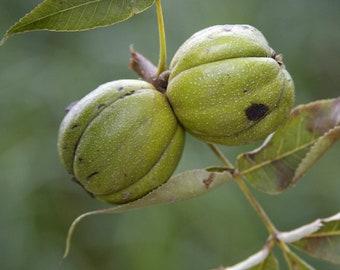 Hickory Nuts, Mixed Hickory Nuts, Fresh Hickory Nuts, Nuts To Eat, Gift Nuts, Nuts To Cook, Fresh Nuts Yummy!