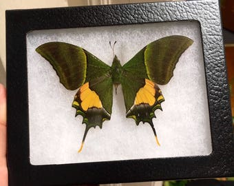 "Framed Teinopalpus Imperialis Butterfly-""Kaiser-I-Hind"""