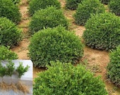 Buxus Green Velvet Dwarf Boxwood live plant evergreen shrub hedge FLAT RATE shipping any quantity