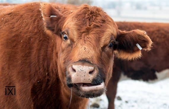 Vache angus rouge sourire dr le photo print photo de vache etsy - Photo de vache drole ...