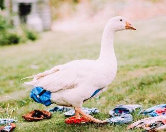 ORIGINAL - Duck Chicken Goose Diaper Harness - Adjustable - Duck - Goose - Chicken - W/ FREE leash Clip - Water Resistant - Patent Pending