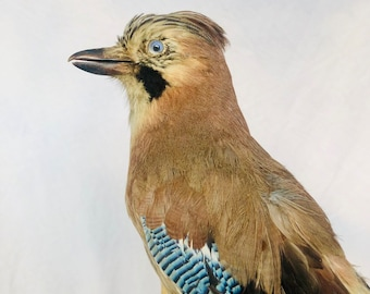 3647520f8e3 Eurasian Jay Taxidermy Stuffed Geai D europe Naturalisé Empaillé Taxidermie  Curiosity