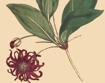 DIGITAL EDITION!!! Vintage Botanical Magazine Images (130+ images)