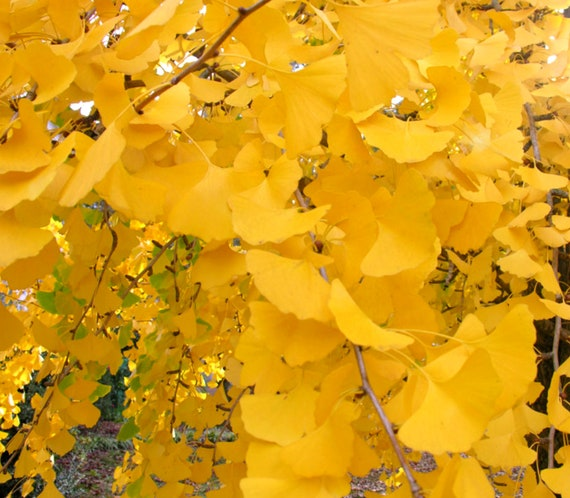 12 seeds of Ginkgo biloba from Canada Maidenhair Tree
