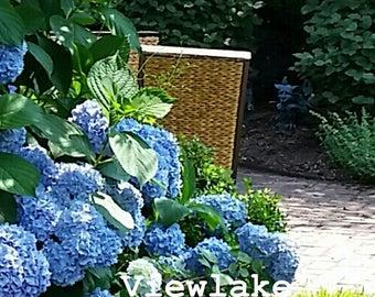 Big Leaf Hydrangea - Blue or Pink Flowers - Bloom All Summer Long - Live Perennial Plant