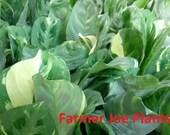 Actual Real Plants- MARANTA - PRAYER PLANT - Variegated- 4 quot Pot - 1 Live Plant - 4 quot Pot Fantastic Color