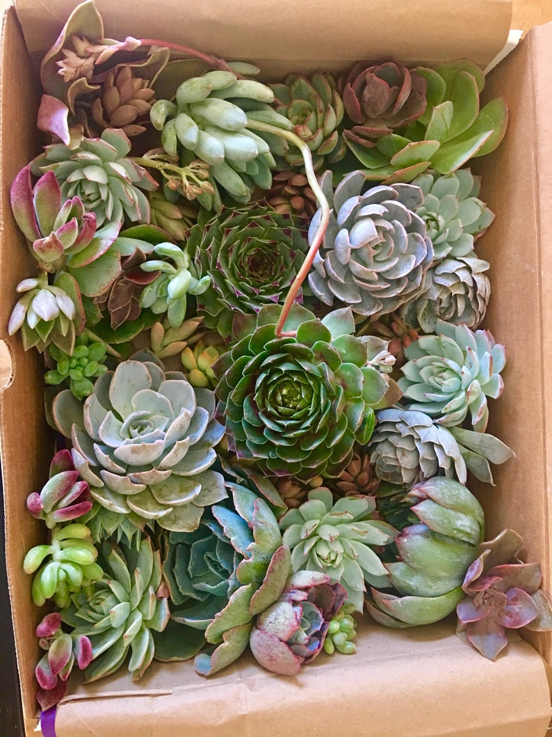 22 Succulent cuttings for your fabulous creations 10 medium and 10 small. 2 large