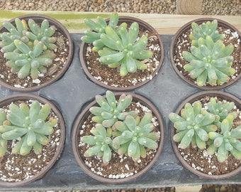 Succulent - Sedum Pallidum