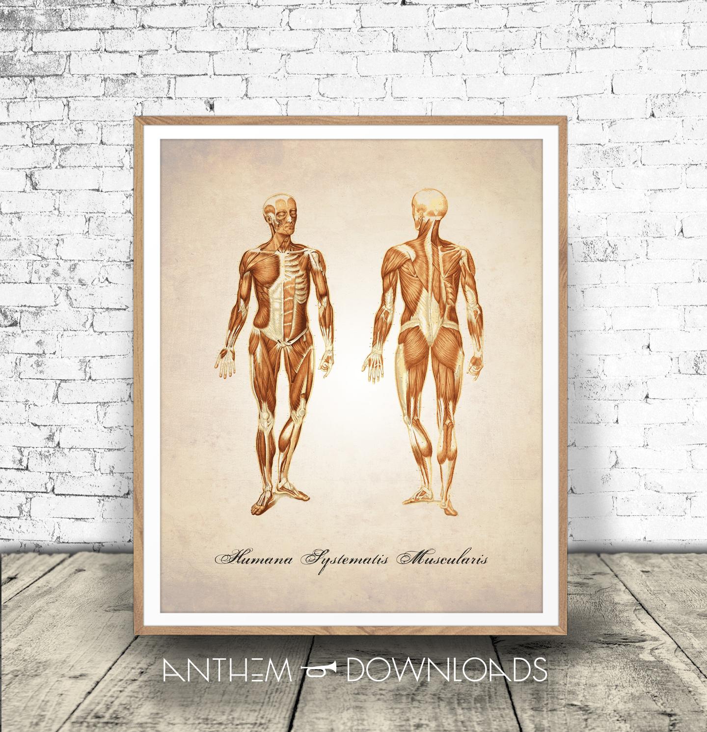 Menschliche Anatomie bedruckbar MUSKULÄRE System menschliche | Etsy