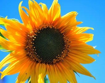 Sunflower Power, Botanical Photography, All profits donated to TheirForeverHome.org