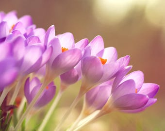 Purple Crocus, Botanical Photography, All profits donated to TheirForeverHome.org