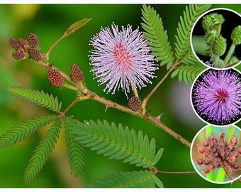 Mimosa Pudica Sensitive plant seeds Container Landscape