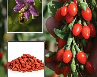 Goji Berry Plant Etsy