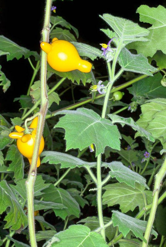 Titty Fruits-Vaches Pis 10 graines-mamelon Solanum mammosum