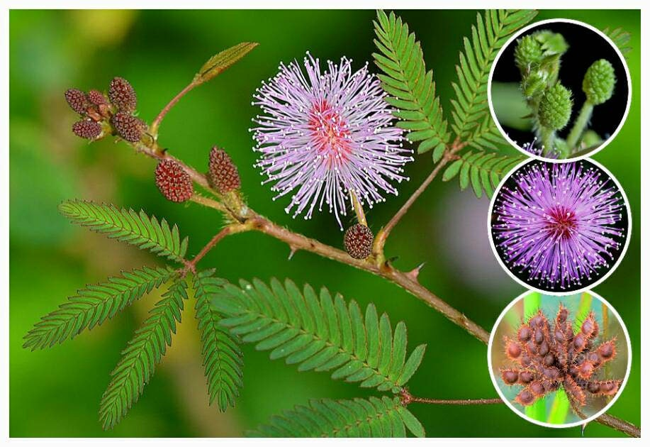 100 Seeds Seeds, by Seeds farm Mimosa Pudica Sensitive Plant