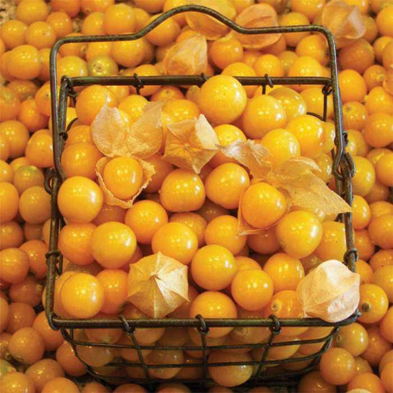 Ground Cherry Seeds ~Physalis Peruviana~ Rare Heirloom Plant ~ Inca, Golden  or Poha Berry ~ Cape Gooseberry ~ Chinese Lantern ~ Groundcherry