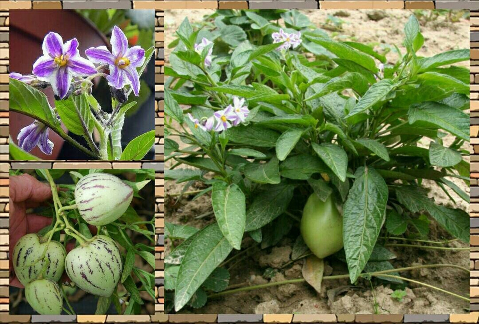 A collage of pepino melon images including flowers, fruits, and a bush growing in the ground.