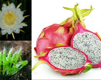 Dragon Fruit 10/25/50/100/250 Seeds ~ Spectacular Flowers ~ Very Easy to Grow & Germinates Readily ~ Pitaya Pitahaya (Hylocereus undatus)