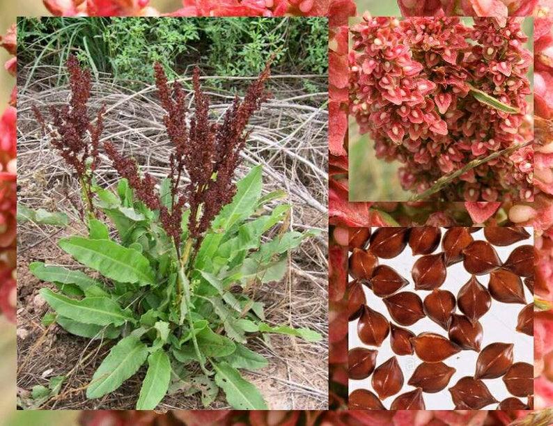 Yellow Dock Seeds ~Rumex crispus~ Organic ~ Sour Dock ~ Curly Dock