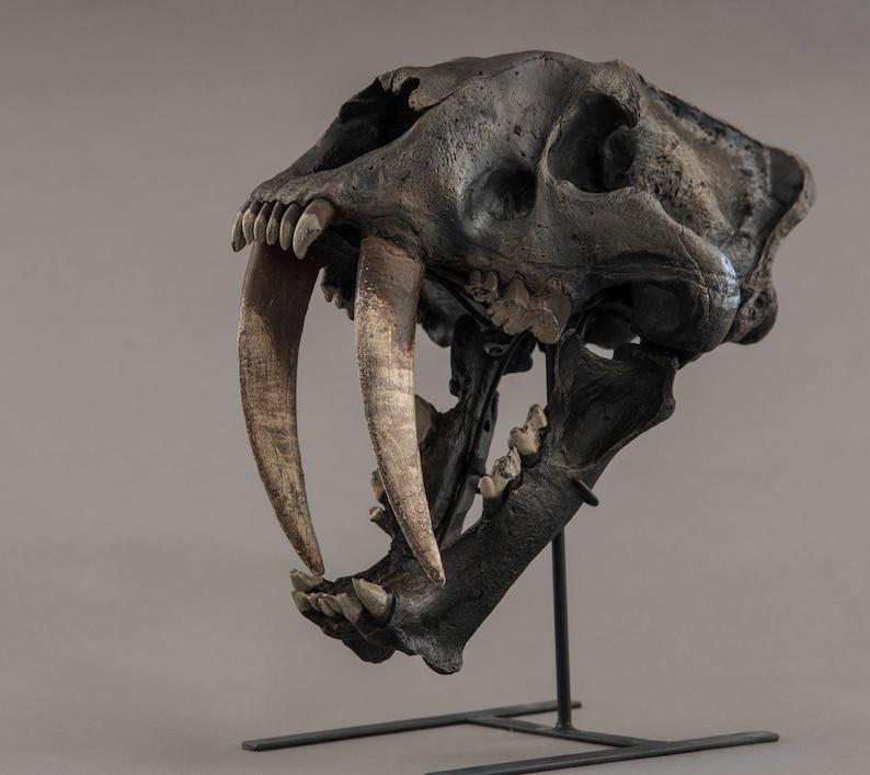 00fba0540 Smilodon fatalis Skull Replica | Etsy