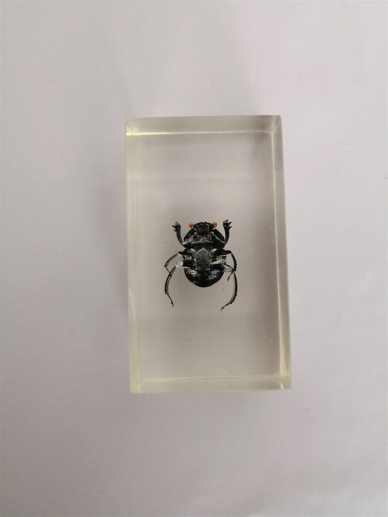 resin insect inclusion kind of beetle vintage cabinet of curiosities