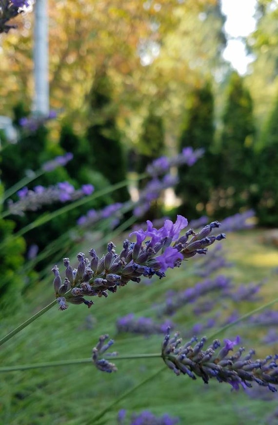 Gorgeous Dried Lavender/ 150 to 200 Stems Lavender/ Lavender  Bunches/Lavender Stems/ Wedding Bouquets/ Wedding Decor/Thanksgiving Decor