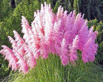 Pink pampas grass etsy mightylinksfo