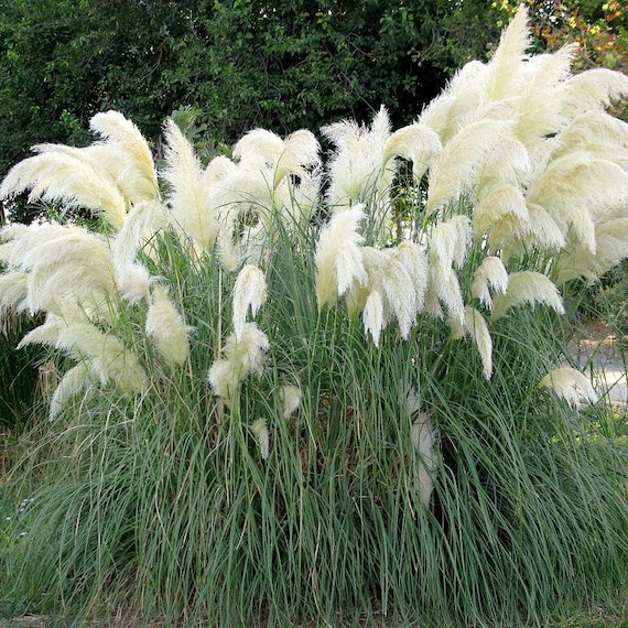 White pampas grass seeds pink pampas grass seeds cortaderia etsy image 0 mightylinksfo