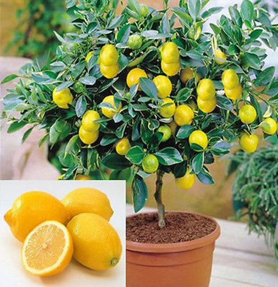 15 Edible Fruit Meyer Lemon Seeds Exotic Citrus Bonsai Lemon Etsy