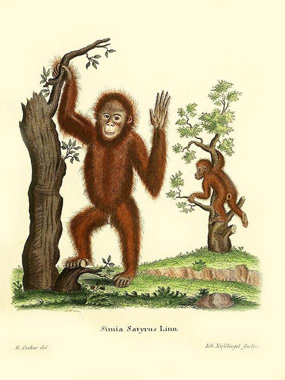 Affe Primaten Druck Orang Utan Monkey Bild-Affen Wand-Dekor-Affen  Abbildung-Kabine Jahrgang Druck-wilde Tier-Tier drucken als o-2