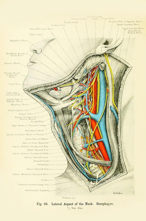 Menschliche Anatomie Vintage Print-menschlichen Hals