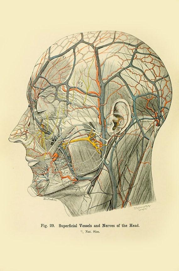 Menschliche Anatomie Vintage Print-menschlichen Kopf Anatomie   Etsy