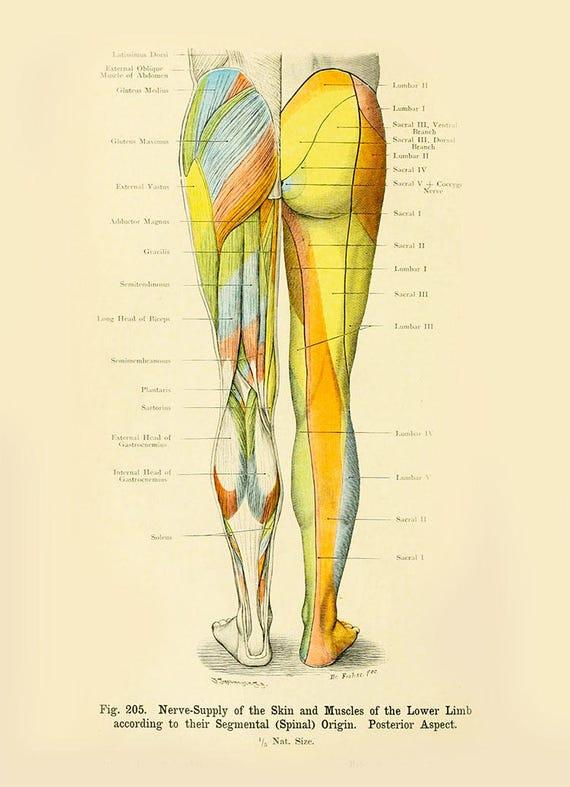 Glied der menschlichen Anatomie Vintage Print-menschlichen
