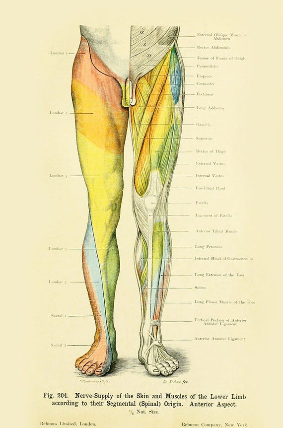 Human Anatomy Vintage Print Human Limb Anatomy Haeckel Nerve Etsy