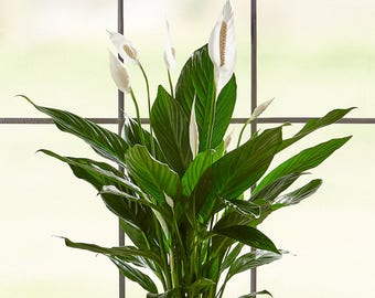 Large blooming Peace Lily! Easy Care indoor plant, Housewarming, Birthday Present, Gift for Her, sympathy gift