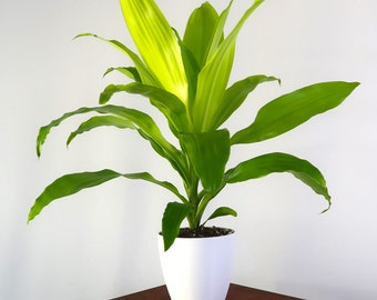 Grown Dracaena Lime Light, Air Purifying Plant, Live Houseplant, Easy Care, Gardening, Home, Office, Dorm Decor, Holiday Gift Idea, Planter