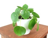 RARE Small Pilea Peperomioides (Chinese Money Plant) Live Houseplant - Easy Care Indoor Plant, Home Decor, Office, Gardening, minimalistic