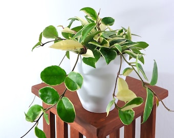 Large Variegated Hoya (Carnosa) Air Purifying Indoor Plant, Live Houseplant, White Planter, Housewarming, Gardening, Office, Home,Dorm Decor