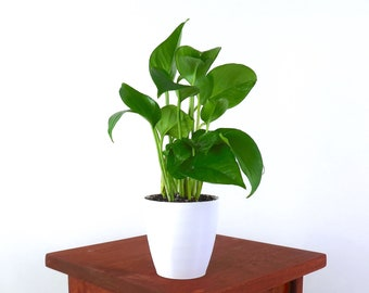 """Golden Pothos (Devil's Ivy) Air Purifying Indoor Plant in 4"""" 3D printed Biopot"""
