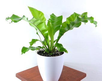 Large Birds Nest Fern Air Purifying Indoor Plant, Live Houseplant - Low Light, Pet Safe, Gardening, Home, Office, Dorm, holiday decorations