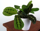 Prayer Plant (Red Maranta) Air Purifying Indoor Plant, Live Houseplant - Easy Care Plant, Gardening, Home, Office, Dorm decor