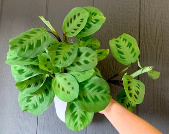 Large Prayer Plant (Red Maranta) Air Purifying Indoor Plant, Live Houseplant - Easy Care Plant, Gardening, Home, Office, Dorm decor
