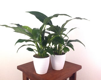Peace Lilies Air Purifying Indoor Plant, SET OF 2 - Easy Care Live Houseplant, Housewarming, Birthday Present, Home Decor, Office, Gardening