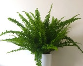 Large Boston Fern Air Purifying Plant - Pet Friendly,Easy Care Live Houseplant,Outdoor Hanging Plant, Housewarming Gift Birthday Present