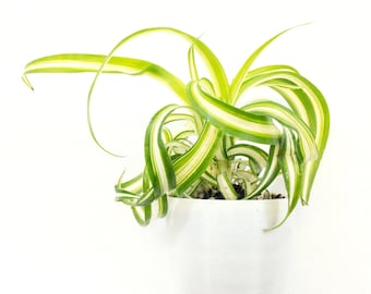 Baby Spider Air Purifying Indoor Plant, Safe for Pets, low light Plant, Self-care Gift, Gift for Her, Gardening