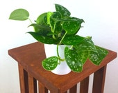 Satin Pothos Air Purifying Live Indoor Plant- Easy Care Houseplant, Hanging Plant, Housewarming, Birthday Present, Gift for Her, Gardening