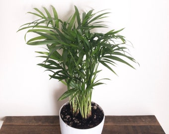 """Bella Palm (Neanthe Bella Palm) Air Purifying Plant in 4"""" Biopot"""