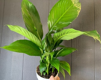 Large Peace Lily Live Indoor Plant, Air Purifying Indoor Plant, Housewarming, Birthday Present, Gift for Her, Gardening