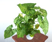 Arrowhead Plant (Berry Illusion Syngonium) Air Purifying Indoor Plant, Live Houseplant - Easy Care Plant, Home, Office, Dorm decor