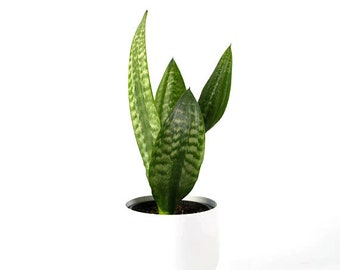 Snake Plant / Mother in Law's Tongue (Sansevieria Zeylanica) Air Purifying Plant - EASY CARE Houseplant, Housewarming, New to Gardening Gift